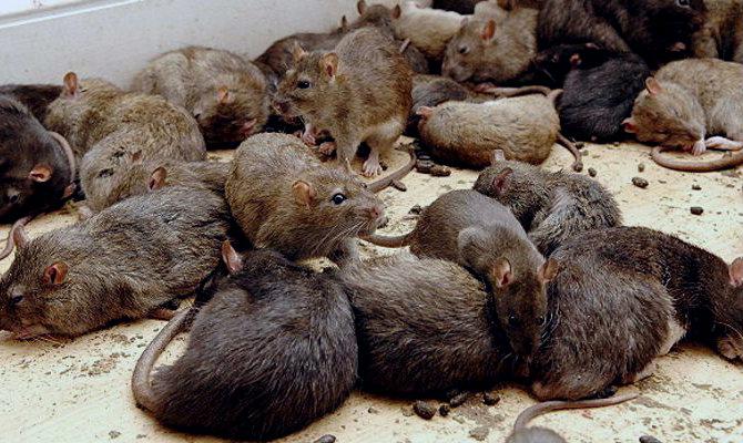 Vecinos de colonias céntricas no aguantan a las ratas ¿Y en las orillas?