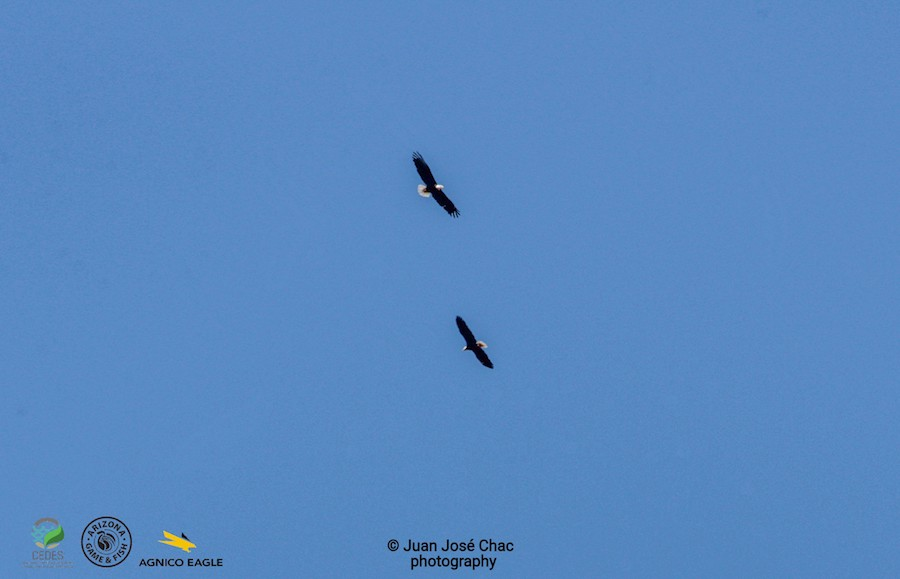 Confirma estudio binacional presencia de Águila Calva en Sonora