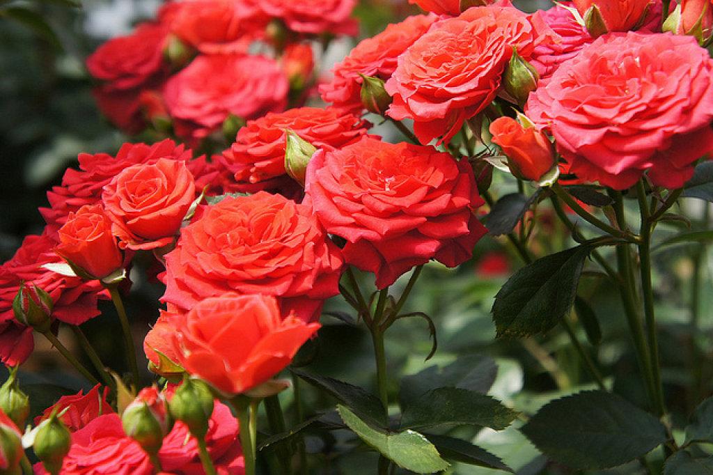 A la rosa que ya no existe